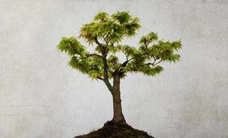 acero albero verde
