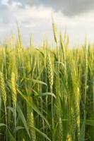 grano verde sotto il cielo drammatico foto