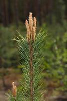 cima di un albero di pino con gemme