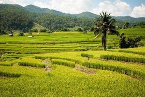 la stagione della raccolta del riso dorato si avvicina foto