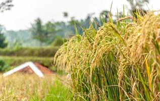 campo di riso (risaia) foto