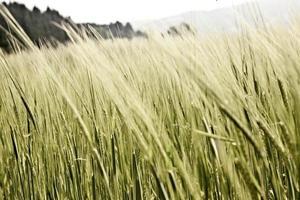 primo piano di grano maturo / secco foto