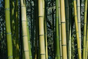 germogli di bambù foto