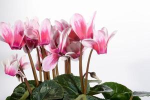 ciclamino, primulaceae foto