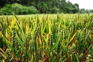 vicino campo di grano foto