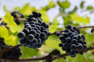 vite con pendenti grappoli di uva rossa.