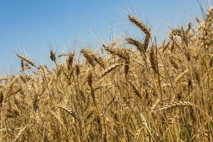campo di grano foto