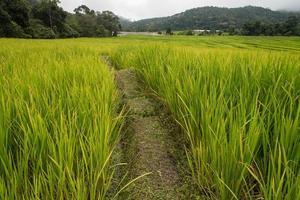 campi di riso verdi negli altopiani settentrionali della thailandia