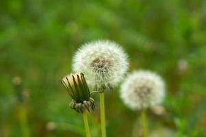 semi di tarassaco foto
