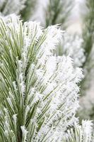 hiver, sapin, givre, natura foto
