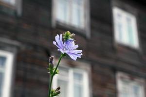 fiore di cicoria foto