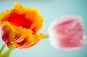 primo piano fresco dei tulipani foto