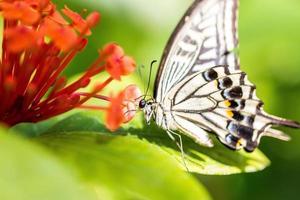 farfalla di coda forcuta