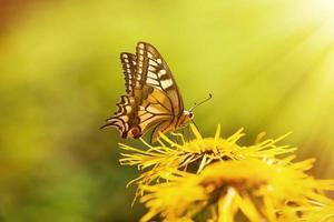 farfalla a coda di rondine (papilio machaon) foto