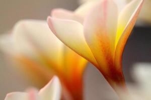 primo piano dei fiori di plumeria sopra