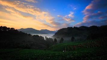 campo di fragole biologiche sulla terrazza, doi ang khang, chiang mai foto