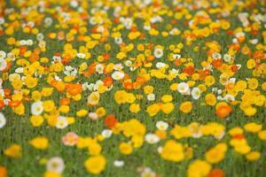 papavero in fiore da un lato foto
