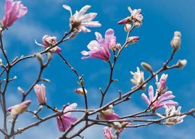 rami pieni di fiori di magnolia loebner (magnolia x loebneri) a foto