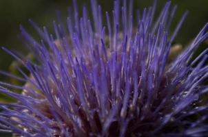 fleur d'artichaut foto