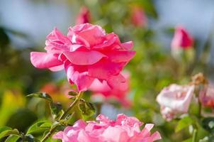 rosa in un giardino
