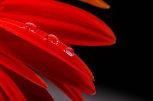 gerbera rossa e gocce d'acqua