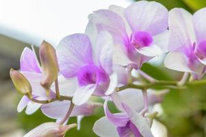 primo piano viola dei fiori dell'orchidea.