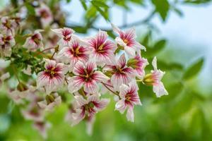 ciliegia selvatica