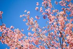 fiore sakura tailandese chiang mai thailandia