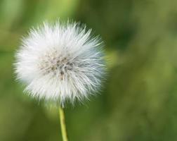 fleur de pissenlit foto