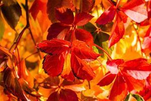 rampicante della virginia d'autunno