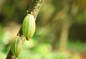 frutti di cacao foto