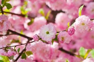 fiore rosa di una ciliegia orientale