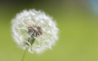 fiore di testa di semi di tarassaco foto