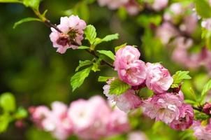 fiore rosa di una ciliegia orientale in un giardino primaverile