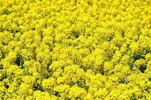 fiori di colza foto