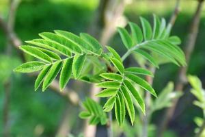 giovani foglie verdi di cenere di montagna all'inizio della primavera