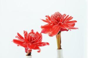 fiore tropicale di zenzero rosa torcia.