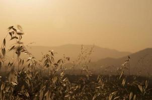 cereale che incornicia la collina dorata