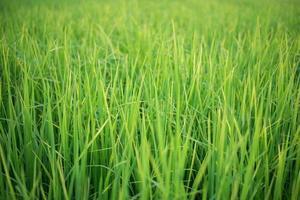 meraviglioso blackground di foglie di riso