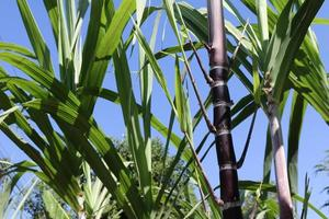 primo piano delle piante di canna da zucchero