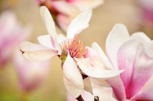 bellissimo fiore rosa magnolia foto