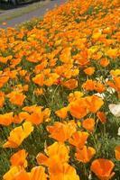 papavero della California foto