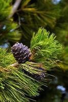 pigne di cedro su un ramo. foto tonica