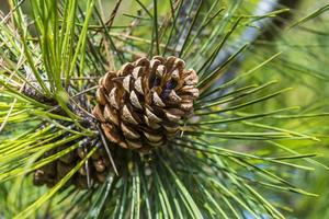 cono su un ramo di un albero di pino