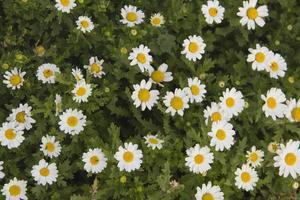 un sacco di fiori margherita in un campo verde foto