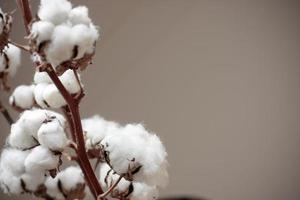 primo piano di un ramo di cotone su sfondo brunastro