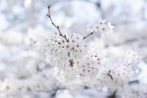 immagine di fiori di ciliegio foto