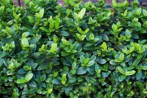 trama di foglie verdi foto