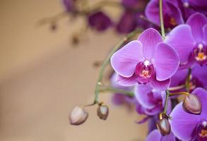 orchidea phalaenopsis foto
