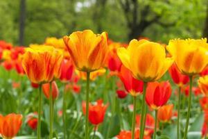 campo di tulipani